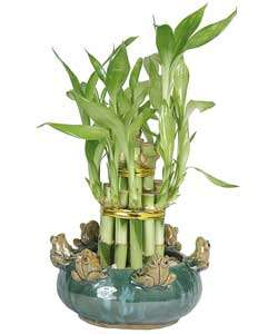 Lucky bamboo growing lucky bamboo spiritual meanings of lucky bamboo