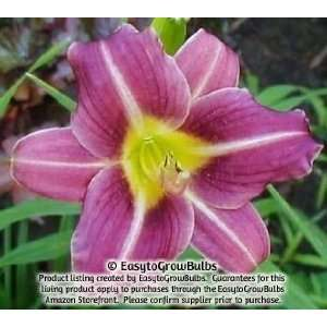 Daylily Mary Reed   1 bare root plant   3/5 fan Patio