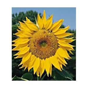 Burpee Organic Mammoth Sunflower   20 Seeds Patio, Lawn & Garden